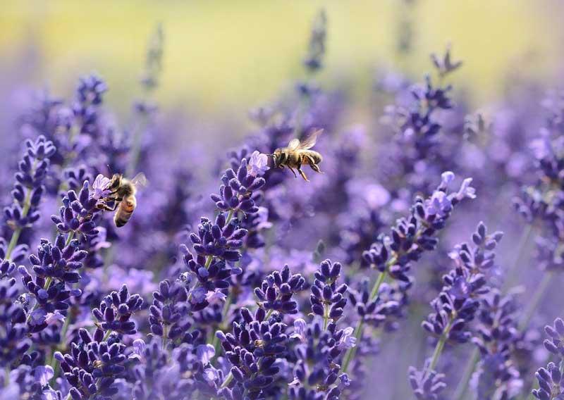 abeilles qui butinent sur la lavande